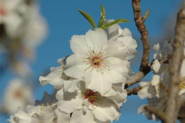 Mandelbluete – Balsam fuer die Seele